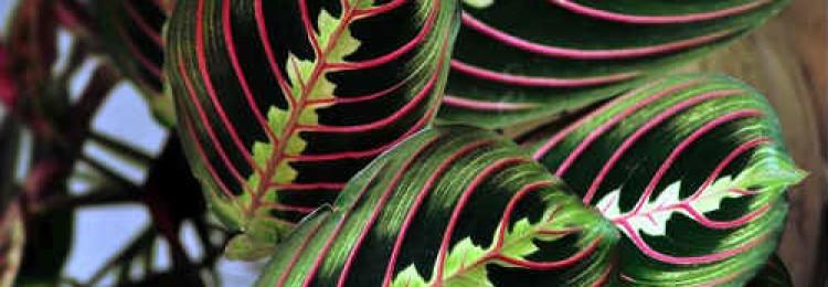 Приметы о цветке маранта
