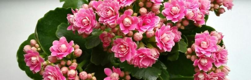 Приметы и суеверия о комнатном цветке каланхоэ для дома