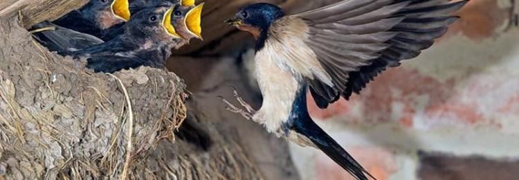 К чему приметы, если ласточки вьют гнезда: на доме, под крышей