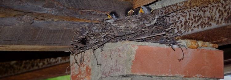 К чему приметы, если птицы свили гнездо: в доме, на балконе, над окном