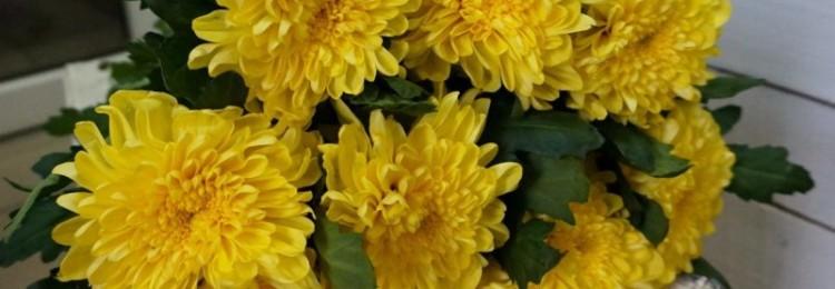 Приметы и суеверия о комнатных хризантемах для дома