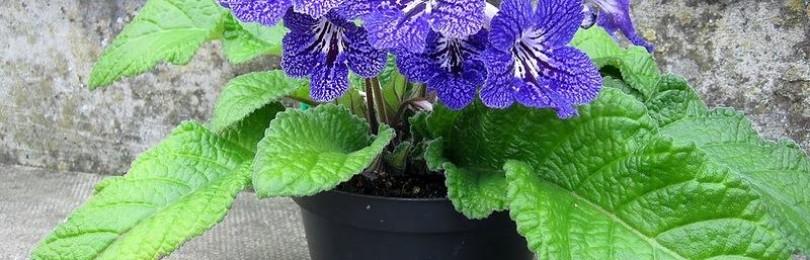 Приметы и суеверия о цветке стрептокарпусе
