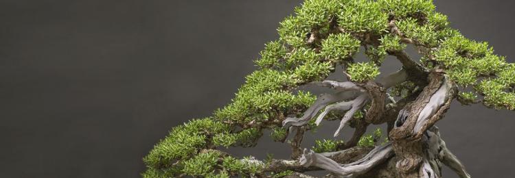 Дерево бонсай в доме: приметы и суеверия