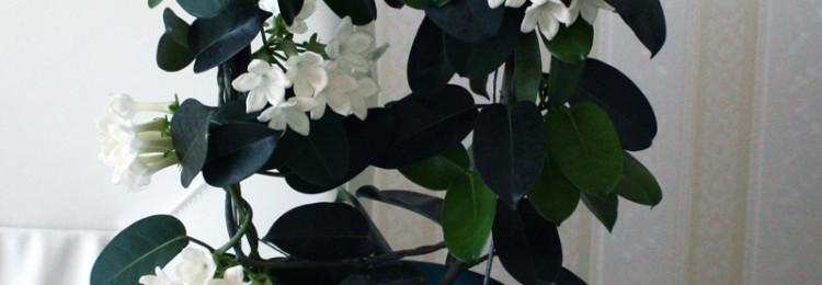 Приметы и суеверия о жасмине комнатном (Стефанотисе)