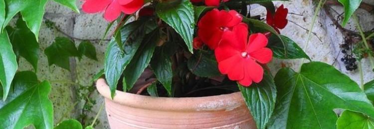 Комнатный цветок Ванька мокрый (бальзамин): народные приметы и суеверия