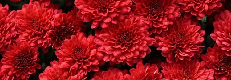 К чему по приметам дарят хризантемы: желтые, белые, розовые