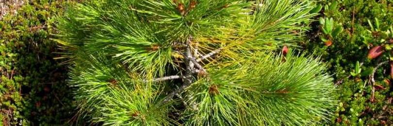 Можно ли сажать кедр на участке: приметы и суеверия