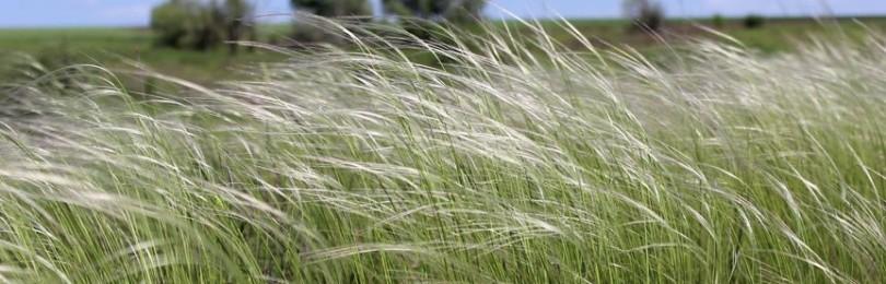 Народные приметы и суеверия о траве ковыле