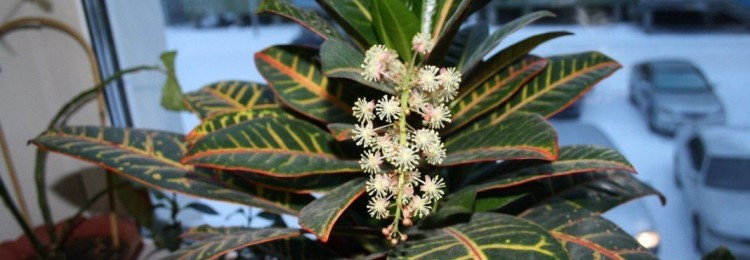 Цветок кротон: приметы и суеверия