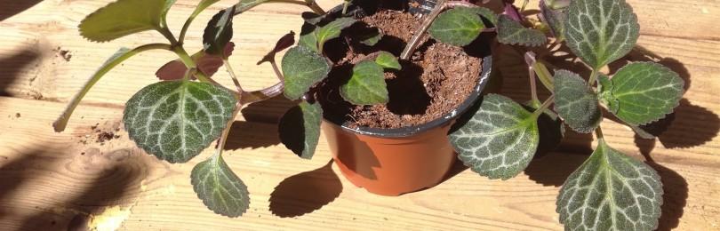 Плектрантус: приметы и суеверия, где поставить, уход за растением, фото