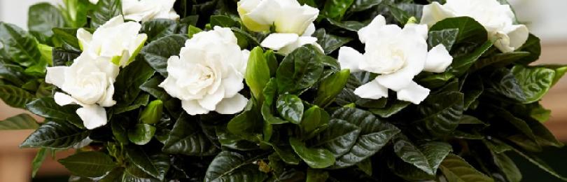 Приметы и суеверия о Гардении жасминовидной: к чему цветет, что принесет владельцу