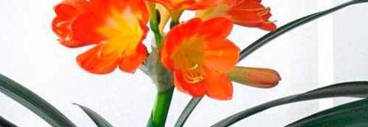 Приметы и суеверия о цветке кливии для дома