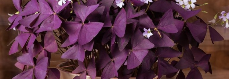 Цветок оксалис: приметы