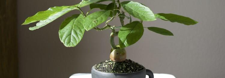 Приметы о том, можно ли выращивать авокадо в доме