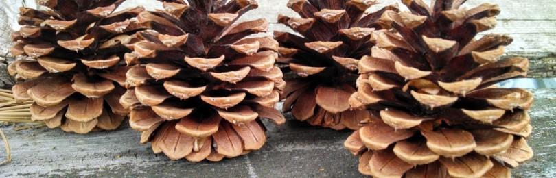 К чему по народным приметам шишки хвойных деревьев раскрываются