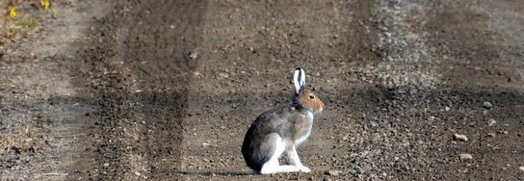 Приметы о зайцах: к чему увидеть на дороге, кладбище, в лесу