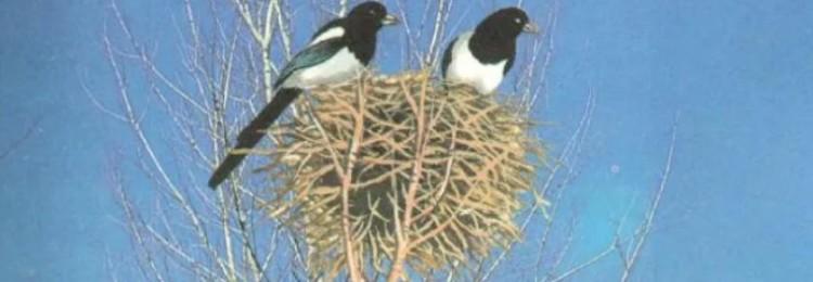 К чему приметы, если сороки свили гнездо: под окном, рядом с домом