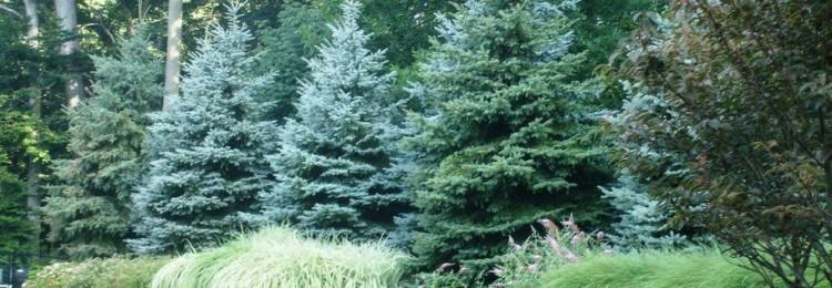 К чему посадить голубую ель на участке: приметы