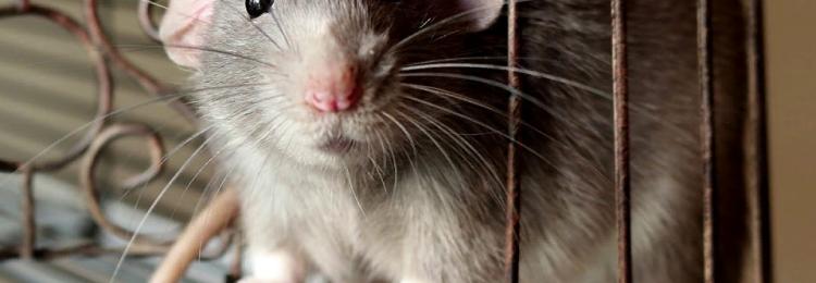 Приметы с крысами: в доме, на улице и на работе