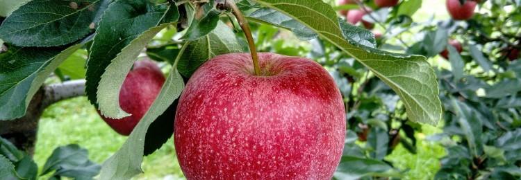 Привороты с яблоком