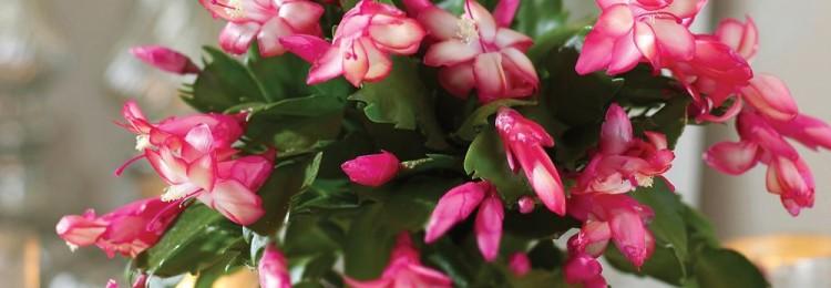 Цветок декабрист: можно ли держать дома, приметы