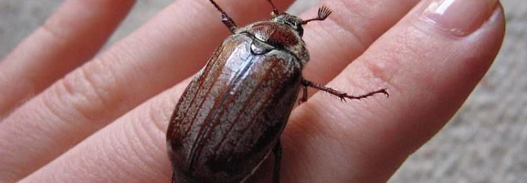 Приметы о майском жуке: если залетел в дом, сел на голову, бьется в окно