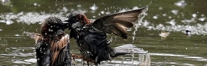 К чему воробьи и голуби купаются в луже: приметы