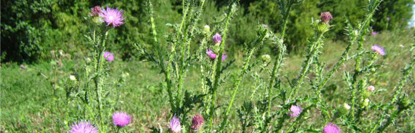 Чертополох: фото растения и лечебные свойства