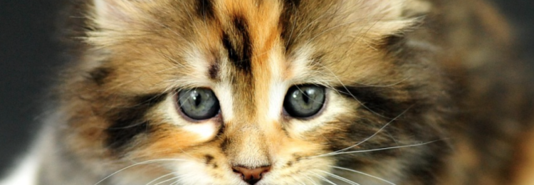 Трехцветная кошка в доме — приметы и суеверия
