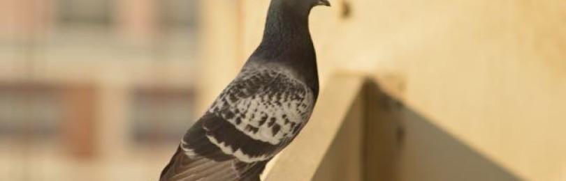 Приметы о голубином гнезде на балконе
