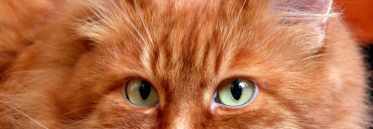 Рыжий кот: приметы
