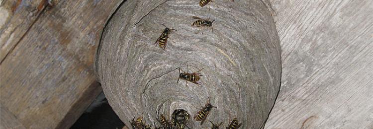 К чему примета, если осы свили гнездо