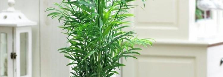 Приметы о хамедорее в доме: элеганс, бридбл, суеверия и фото цветка