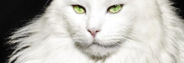 Белая кошка в доме: приметы