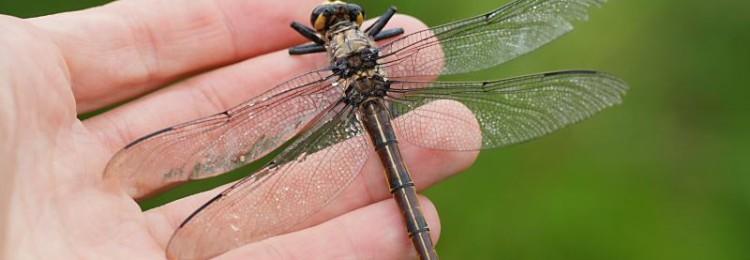 Приметы о стрекозах: если села на руку, ногу, голову, залетела в дом