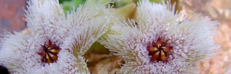 Приметы и суеверия о цветке стапелии