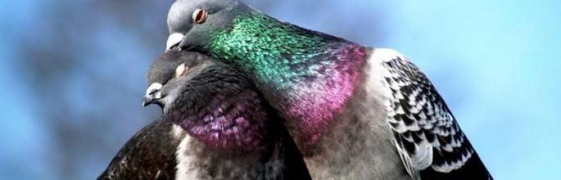 К чему голубь залетел в квартиру приметы