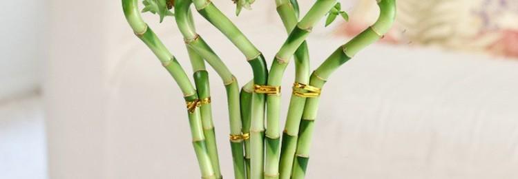 Приметы и суеверия о бамбуке в доме: магические свойства растения