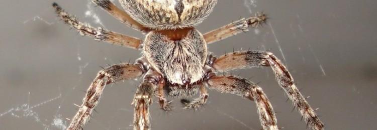 Приметы о пауке-крестовике: в доме, за окном
