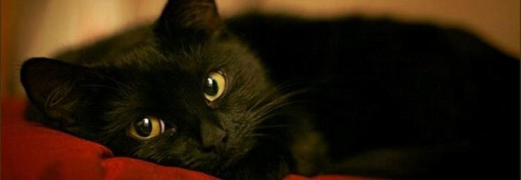 Черный кот в доме — хорошо или плохо