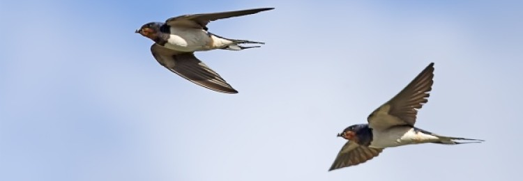 К чему ласточки низко летают: народная примета