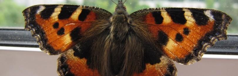 Бабочка залетела в дом: примета