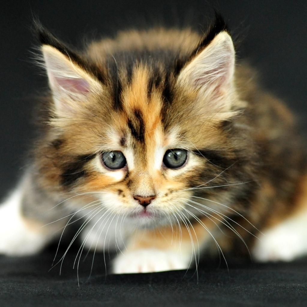 Трёхцветная кошка: приметы - к счастью ли держать в доме?