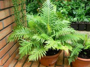 Можно ли дома выращивать папоротник как комнатное растение?