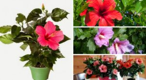 Почему нельзя выращивать дома китайскую розу приметы?